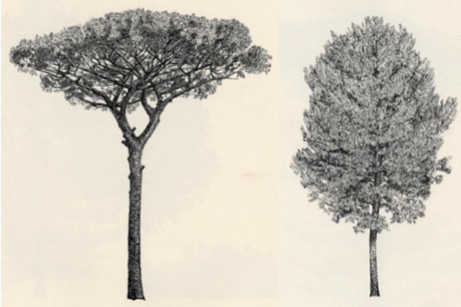 Gli alberi di pino e cipresso caduti nel litorale toscano