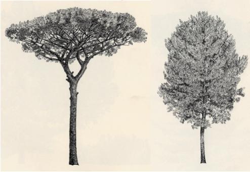 pino selvatico e casaligo