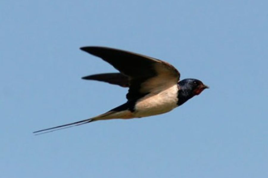 Rural landscape and biocultural diversity: the swallows in Italy