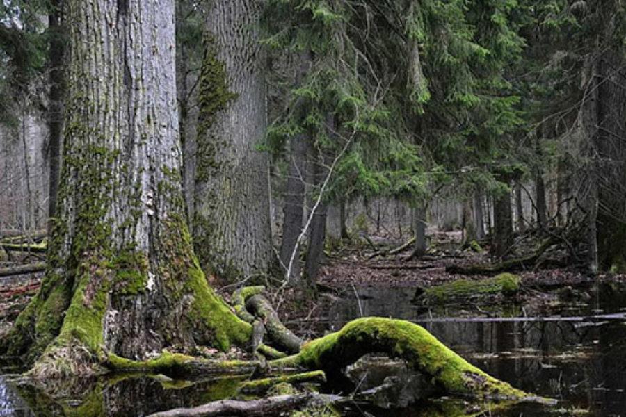 Il bosco di Białowieża e l'Italia