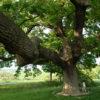 quercione-delle-checche2-valdorcia